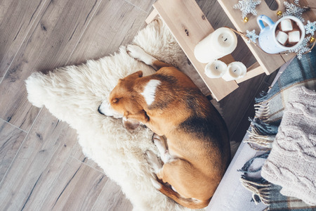 Photo for Beagle dog sleeps on fur carpet in living room, cozy christmas time atmosphere - Royalty Free Image