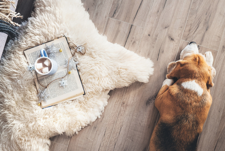 Photo pour Beagle lies on the laminat floor near the sheepskin carpet with book and mug of hot chocolate - image libre de droit