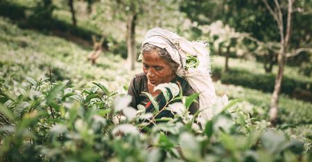 Foto de Ella, Sri Lanka - December 30, 2017: Old age female tea-picker picks up the fresh tea leaves in Ella town, Uva Province, Sri Lanka - Imagen libre de derechos
