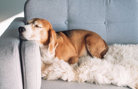 Photo pour Beagle sleeps on cozy sofa - image libre de droit