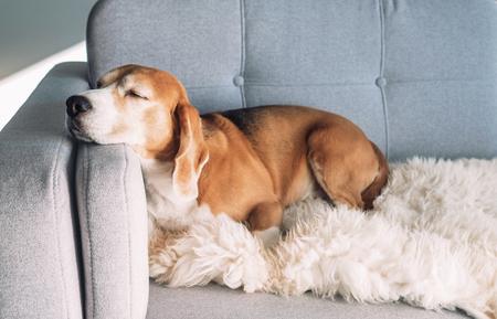 Photo for Beagle sleeps on cozy sofa - Royalty Free Image