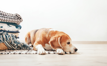 Photo pour Beagle dog lies on the floor in cozy home near the basket with laundry - image libre de droit