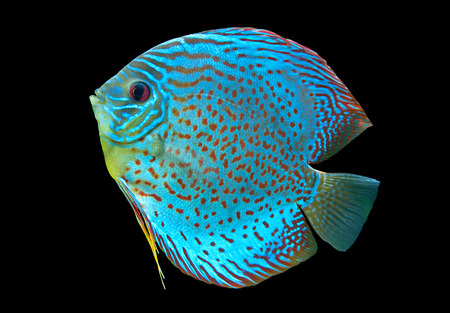 Foto de Discus ,  freshwater fish native to the Amazon River isolated on black - Imagen libre de derechos
