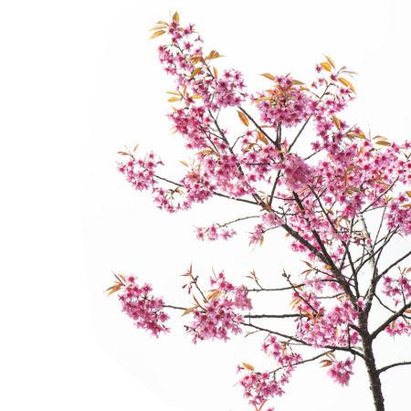 Photo for Sakura Flower or Cherry Blossom with Beautiful Background - Royalty Free Image