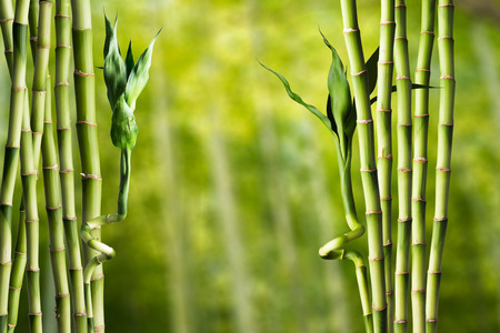 Photo for Bamboo - Royalty Free Image