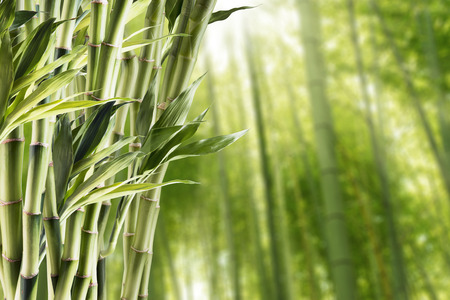 Photo for Bamboo With Bamboo Forest Background - Royalty Free Image