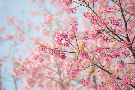Photo for Sakura Flower or Cherry Blossom With Beautiful Nature Background - Royalty Free Image