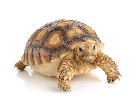 Photo for turtle on white background - Royalty Free Image
