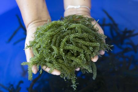 Photo for Caulerpa lentillifera, Sea Grapes, Green Caviar in woman hands, Healthy Food, Thailand. - Royalty Free Image