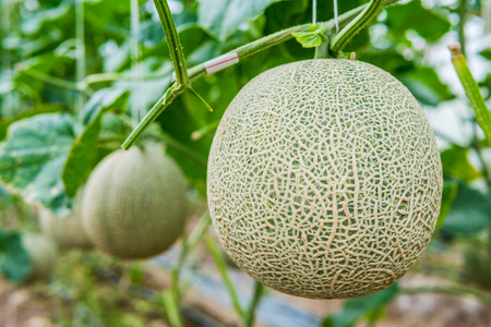 Photo for Green fresh organic melon farm inside greenhouse - Royalty Free Image