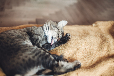 Foto de beautiful cat licking his paw on stylish yellow blanket with funny emotions in rustic room. cute tabby grooming and washing itself, cleaning fur. space for text - Imagen libre de derechos