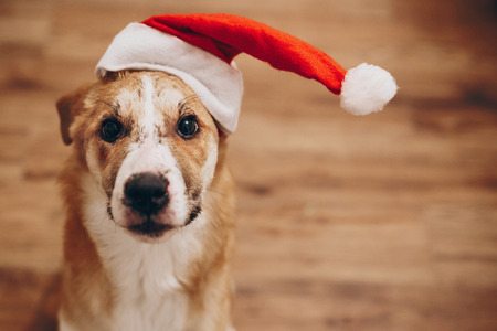 Photo for dog in santa hat. merry christmas and happy new year concept. space for text. cute brown dog in red hat sitting in stylish room with adorable look. happy holidays - Royalty Free Image