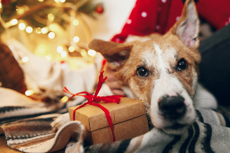 Foto de cute puppy sitting at craft gift box on rug at beautiful chrismas tree with lights and presents. seasonal greetings, happy holidays. merry christmas and happy new year concept. space for text - Imagen libre de derechos