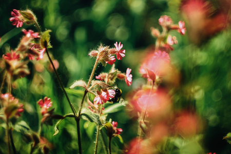 Photo pour bumblebee flying near beautiful pink flowers in sunny mountains in spring time - image libre de droit