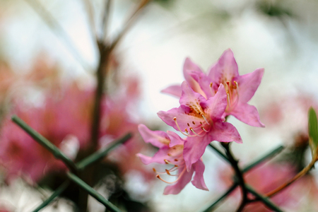 Photo pour beautiful pink azalea flowers in sunny botanical gardens - image libre de droit