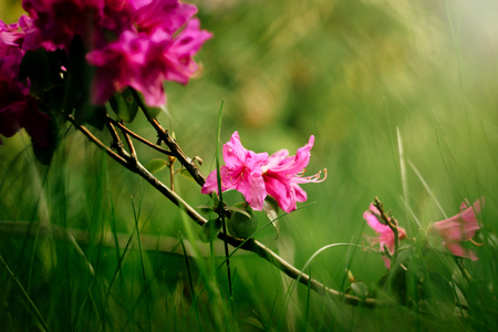 Photo pour beautiful pink azalea flowers in sunny botanical gardens - image libre de droit