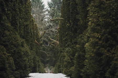 Photo for snowy road among green trees in woods in winter. old path covered with snow in forest with cedar or pine trees - Royalty Free Image