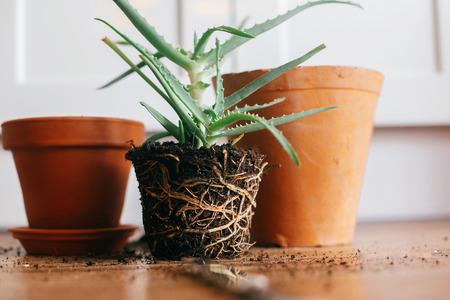Foto de repotting plant. aloe vera with roots in ground repot to bigger clay pot indoors. care of plants. succulent on wooden background. gardening concept - Imagen libre de derechos