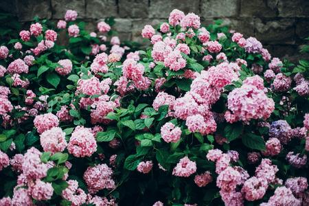 Photo for hydrangeas. big beautiful hydrangea pink bush,amazing flowers in garden - Royalty Free Image