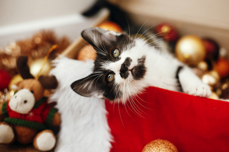 Foto de Cute kitty sitting in box with red and gold baubles, ornaments and santa hat under christmas tree in festive room. Merry Christmas concept. Adorable funny kitten. Atmospheric image - Imagen libre de derechos