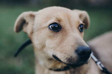 Photo pour Portrait of cute golden puppy with sad black eyes and emotions in park. Dog shelter. Scared homeless doggy walking in city street. Adoption concept. - image libre de droit