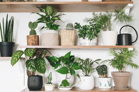 Photo for Stylish wooden shelves with green plants and black watering can. Modern room decor. Cactus, dieffenbachia, asparagus, epipremnum, calathea,dracaena,ivy, palm,sansevieria in pots on shelf - Royalty Free Image
