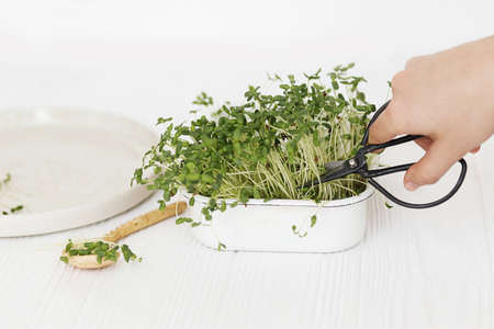 Growing microgreens at home. Hands cutting fresh flax sprouts with scissors from sprouter on background of spoon and modern plate on white wood. Flax or linen fresh plants, micro green.  Hydroponics