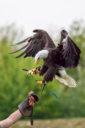 Foto de American bald eagle (Haliaeetus leucocephalus) with falconer. Bird of prey at falconry display. - Imagen libre de derechos