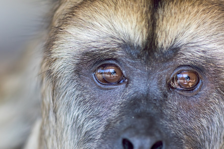 Foto de Animal rights. Sad expression on the face of rescued captive howler monkey with reflection of captivity enclosure in its eyes. Close up of thinking animal. - Imagen libre de derechos
