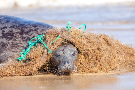 Foto de Plastic marine pollution. Seal caught in tangled nylon fishing net. This curious wild animal was attracted to the rope and net and enjoyed playing with it but did come into difficulty as it wrapped around the body. - Imagen libre de derechos