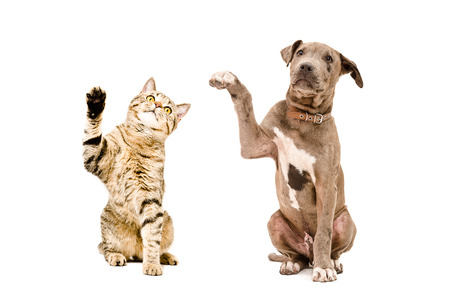 Photo for Cat Scottish Straight and pit bull puppy sitting together with raised paws isolated on white background - Royalty Free Image