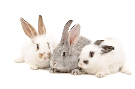 Photo for Three rabbit sitting together isolated on white background - Royalty Free Image