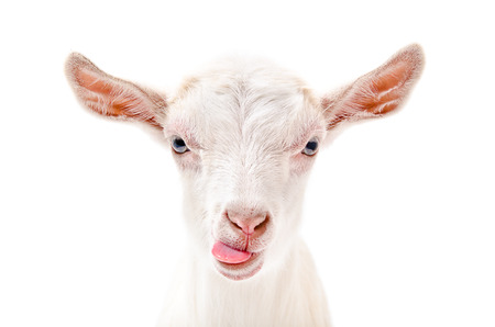 Photo pour Portrait of a goat showing tongue, close-up, isolated on white background - image libre de droit