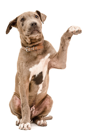 Photo for Pit bull puppy sitting with a raised paw isolated on white background - Royalty Free Image
