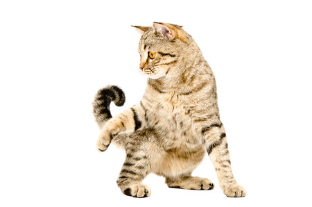 Photo for Funny playful cat Scottish Straight isolated on white background - Royalty Free Image