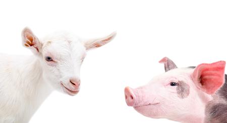 Photo pour Portrait of a goat and pig, closeup, isolated on white background - image libre de droit