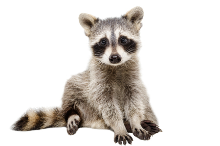 Photo pour Funny raccoon sitting isolated on white background - image libre de droit