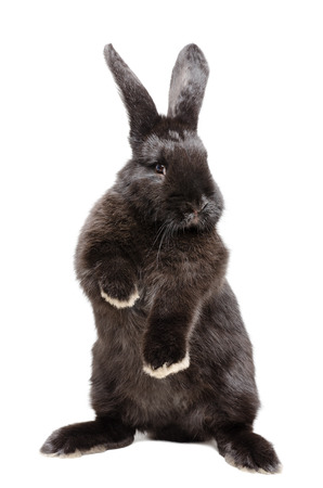 Portrait of a funny black rabbit standing on his hind legs  isolated on white batskground