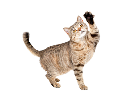 Photo for Funny cat Scottish Straight plays standing isolated on a white background - Royalty Free Image