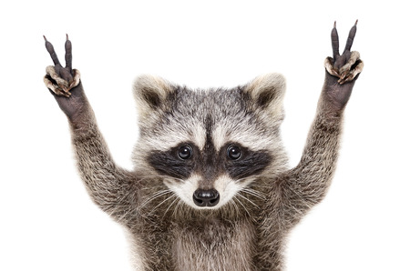 Photo for Portrait of a funny raccoon, showing a sign of peace, isolated on white background - Royalty Free Image