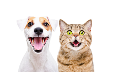 Foto de Portrait of a cute dog Russell Terrier and a cheerful cat Scottish Straight - Imagen libre de derechos