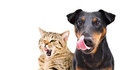 Photo pour Portrait of funny dog breed Jagdterrier and cheerful cat Scottish Straight licks - image libre de droit