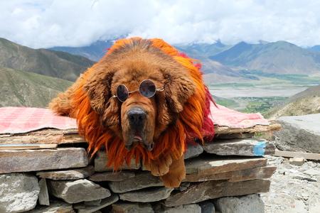Photo pour Tibetan Mastiff - image libre de droit