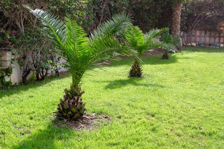 Foto de small palm trees on green grass. green trees on the background well-kept tropical park, well trimmed lawn in summer. - Imagen libre de derechos