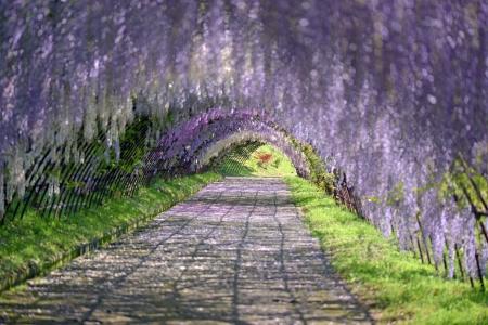 Tunnel in wistaria trellis