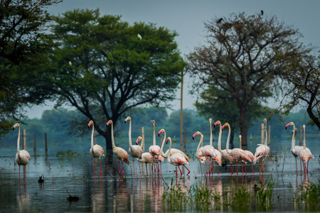 Photo pour Greater flamingo flock in natural habitat. A nature paining created by these flamingos at keoladeo national park, bharatpur, india - image libre de droit