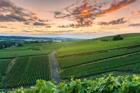 Photo for Champagne Vineyards at sunset Montagne de Reims, France - Royalty Free Image