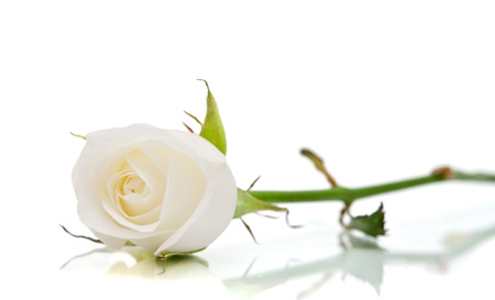 Photo pour white rose on the white - image libre de droit