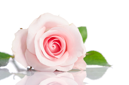 Photo pour beautiful single pink rose lying down on a white background - image libre de droit