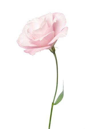 Photo for Beautiful Eustoma flower isolated on white - Royalty Free Image